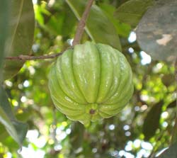How To Lose Weight With Garcinia Cambogia?